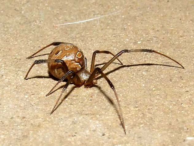 Latrodectus Geometricus brown widow spider