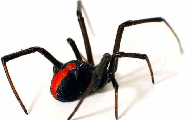Latrodectus Hasseltii redback spider