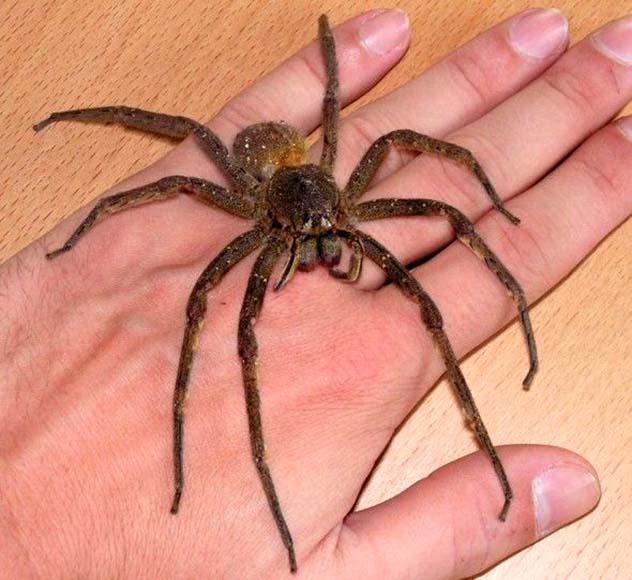 Phoneutria Fera Brazilian wandering spider