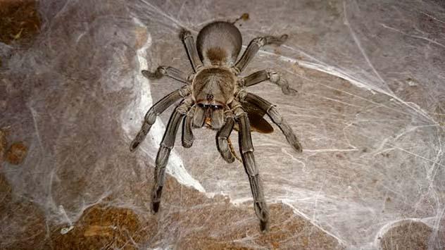 Selenocosmia Crassipes - whistling Tarantula