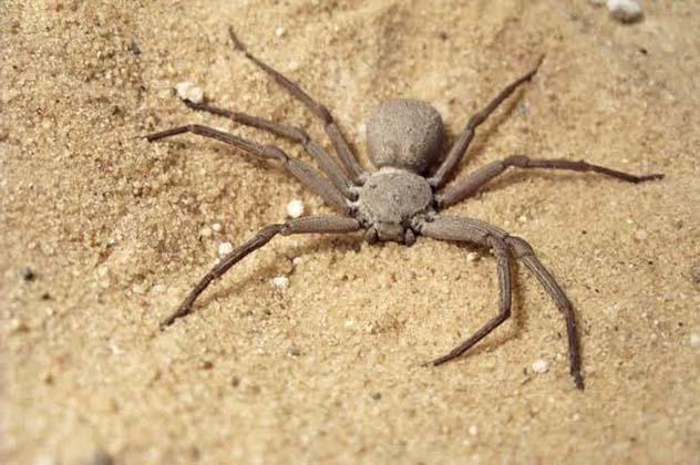Sicarius Hahni six-eyed sand spider