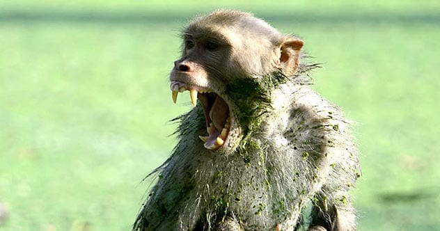 Photo of Top 10 Times A Monkey Took A Human Life