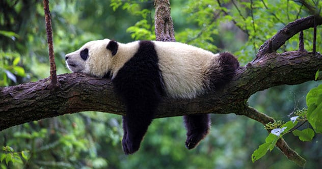 Photo of Top 10 Fascinating Facts About Pandas