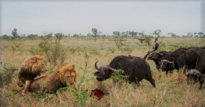 animals-that-kill-lions
